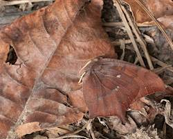 Goatweed Leafwing (Winter form, playing dead because of danger)