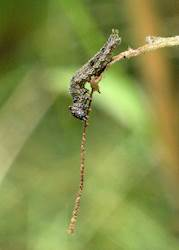 Goatweed Leafwing