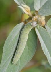 Goatweed Leafwing (Caterpillar)