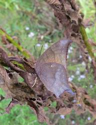 Goatweed Leafwing (Ventral)