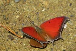 Goatweed Leafwing (Dorsal, Male)
