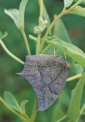 Goatweed Leafwing (Summer form)