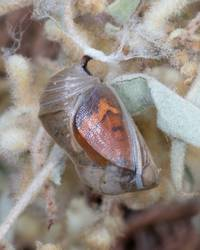 Goatweed Leafwing (Chrysalis)