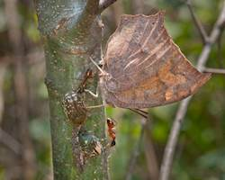 Goatweed Leafwing (Goatweed Leafwing and other insects feeding on sap flow.)