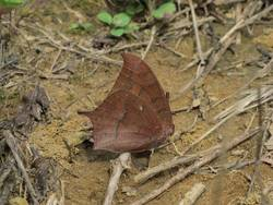Goatweed Leafwing (Ventral, Female)