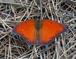 Goatweed Leafwing (Winter form)