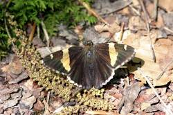 Golden Banded-Skipper