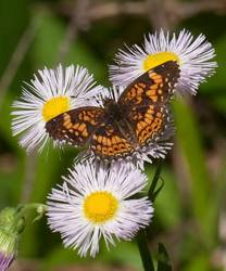 Gorgone Checkerspot (Dorsal)