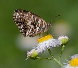 Gorgone Checkerspot (Ventral)