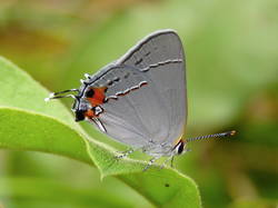Gray Hairstreak (Ventral, Female)