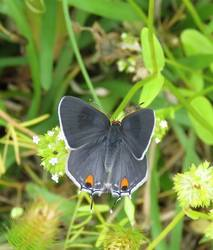 Gray Hairstreak (Dorsal, Female)