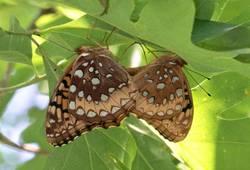 Great Spangled Fritillary (Mating Pair, Ventral)