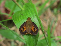 Hobomok Skipper (Dorsal, Male)