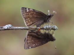 Juvenal's Duskywing (Ventral, Mating)
