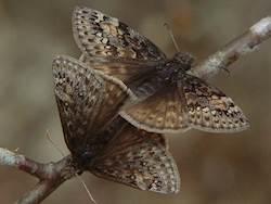 Juvenal's Duskywing (Ventral, Female)