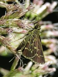Lace-winged Roadside-Skipper (Ventral)
