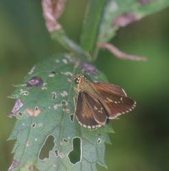 Lace-winged Roadside-Skipper (Dorsal)