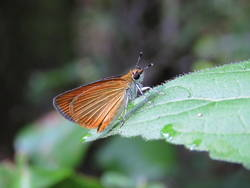 Least Skipper (Ventral)