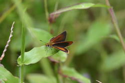 Least Skipper (Dorsal)