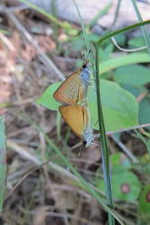 Least Skipper (Ventral, Mating)