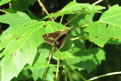 Little Glassywing (Dorsal)