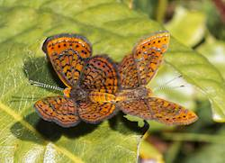 Little Metalmark