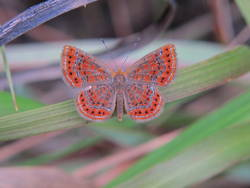 Little Metalmark (Dorsal)