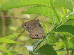Little Wood-Satyr (Ventral, Male, Female)