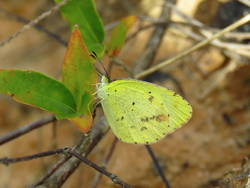 Little Yellow (Ventral)