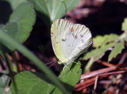 Little Yellow (Ventral, Female)