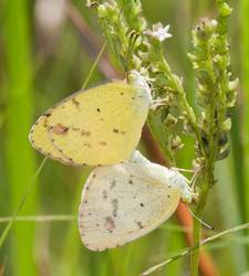 Little Yellow (Ventral, Mating Pair)