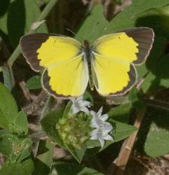 Little Yellow (Dorsal)