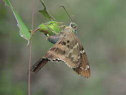 Long-tailed Skipper (Ventral, Female, Ovipositing)