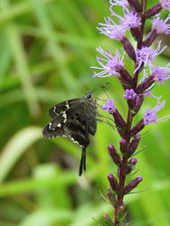 Long-tailed Skipper (Ventral)