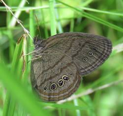 Mitchell's Satyr (Ventral)