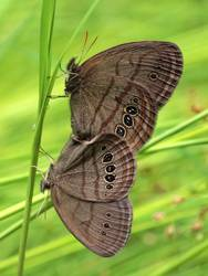 Mitchell's Satyr (Ventral, Mating Pair)
