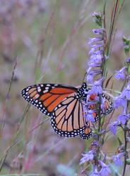 Monarch (Ventral)