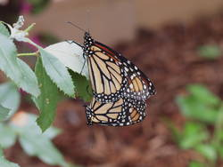Monarch (Ventral, Mating Pair)