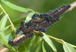 Mourning Cloak (Caterpillar)