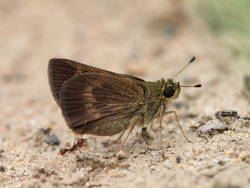 Northern Broken-Dash (Ventral, Female)
