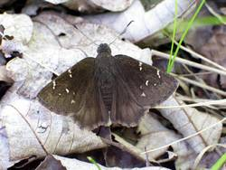 Northern Cloudywing (Dorsal)