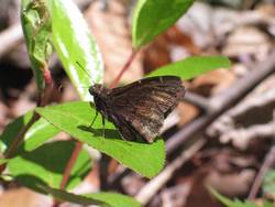 Northern Cloudywing (Ventral, Male)