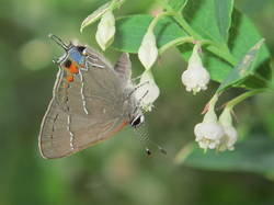 Oak Hairstreak (Ventral)