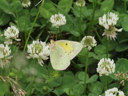 Orange Sulphur (Female, Ventral)