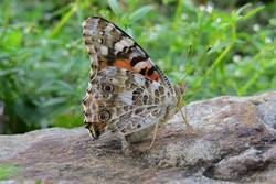 Painted Lady (Ventral)