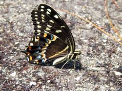 Palamedes Swallowtail (Ventral)