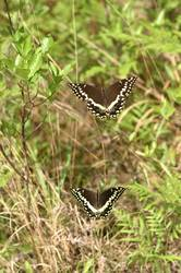 Palamedes Swallowtail (Male, Female, Dorsal)