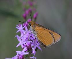 Palmetto Skipper (Ventral, Female)
