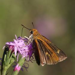 Palmetto Skipper (Dorsal, Female)