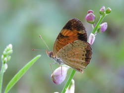 Pearl Crescent (Ventral, Male)